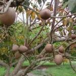 Mamey Sapote variety Viejo Graft - ต้นละมุดยักษ์เสียบยอดสายพันธุ์ Viejo