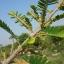 มะขามป้อมอินเดีย เบอร์ 1 thumbnail 2
